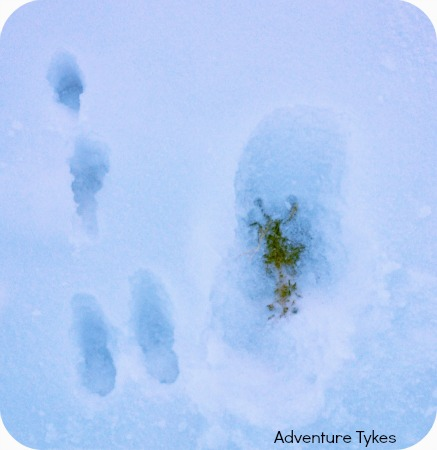 Animal and Toddler Tracks in the Snow
