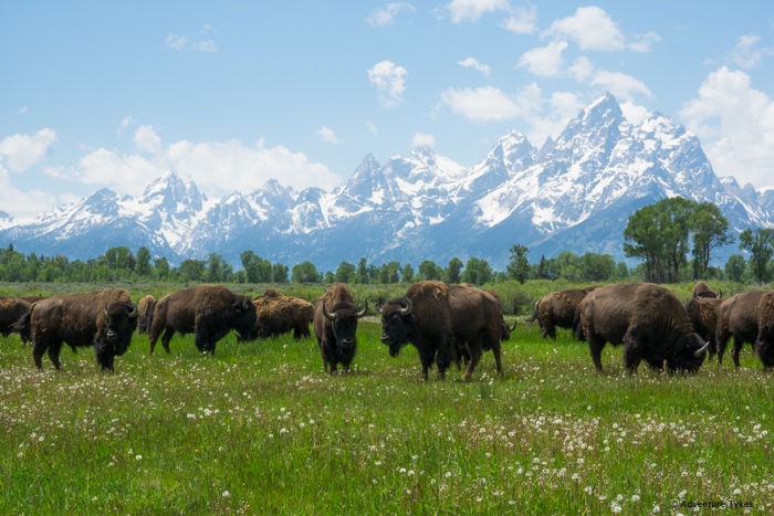 Bison grazing below the Tetons.