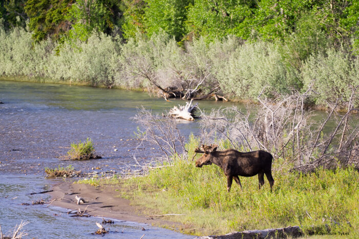 Moose on the Snake River